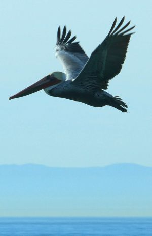 California Grey Pelican, common in Newport Beach